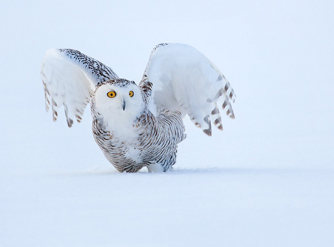 snowy-owl-wing-stretch-quebec