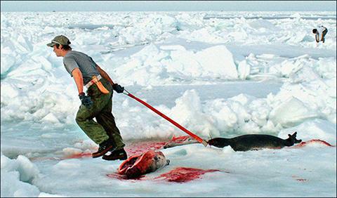 polowanie-na-foki