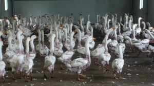 July 2012 China feather farm investigation. Geese with feathers plucked.